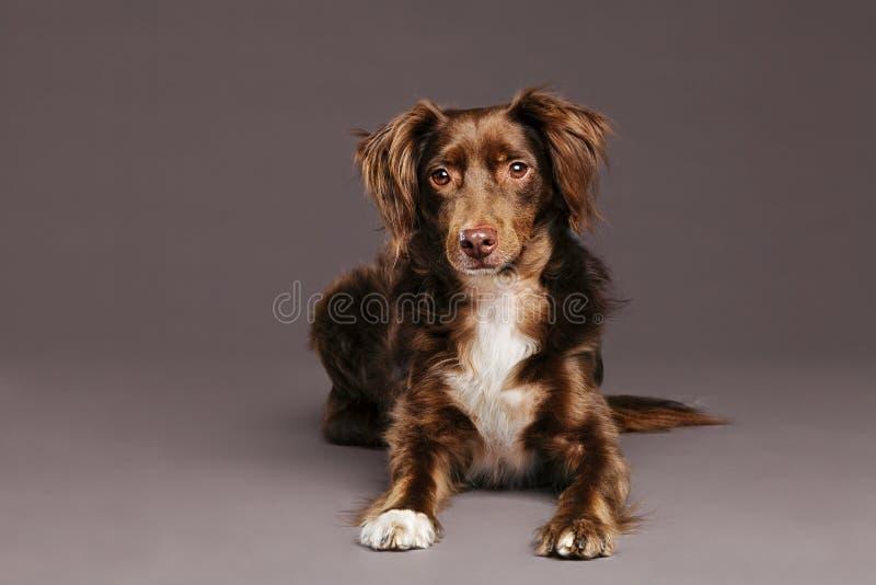 Retrato del estudio del perro de Brown imagen de archivo
