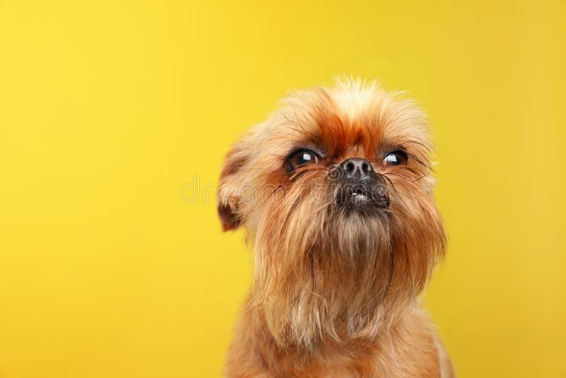 Retrato del estudio del perro divertido de Bruselas Griffon imagen de archivo