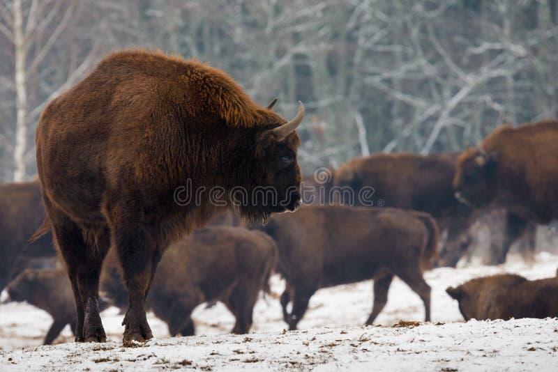 Retrato del europeo Bison Aurochs In Wild Nature Europeo adulto potente Bison Close-Up On The Background de la manada en invierno imagen de archivo libre de regalías