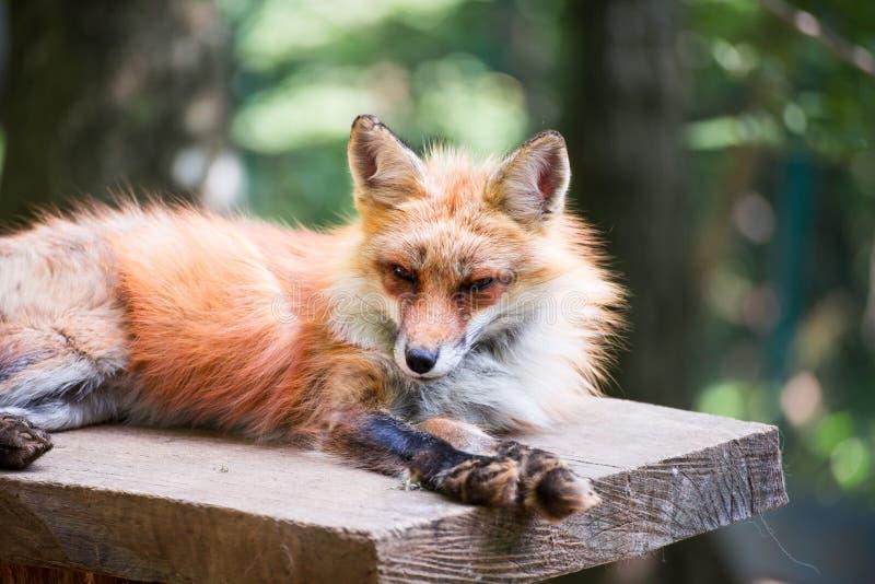 Retrato del Fox imagen de archivo libre de regalías