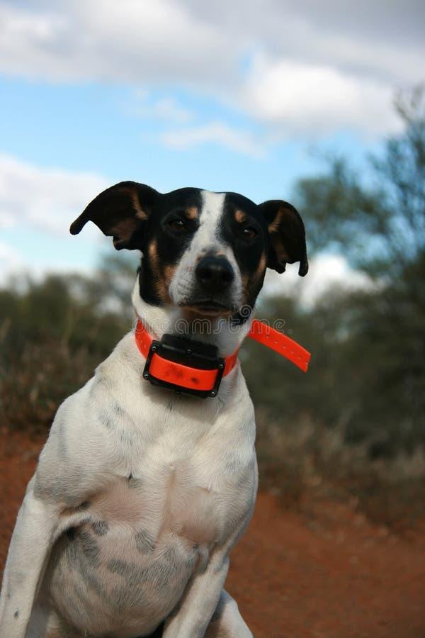 Retrato del fox terrier con el cuello anaranjado brillante foto de archivo libre de regalías