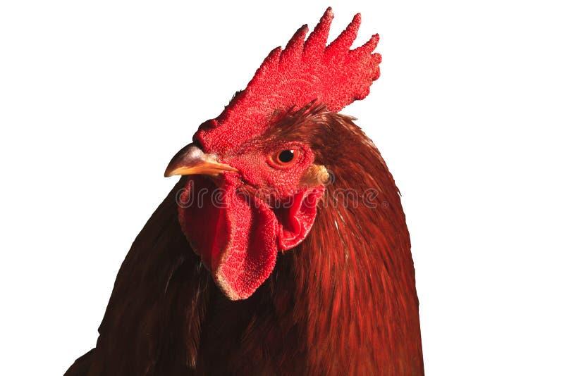 Retrato del gallo rojo aislado en blanco fotografía de archivo