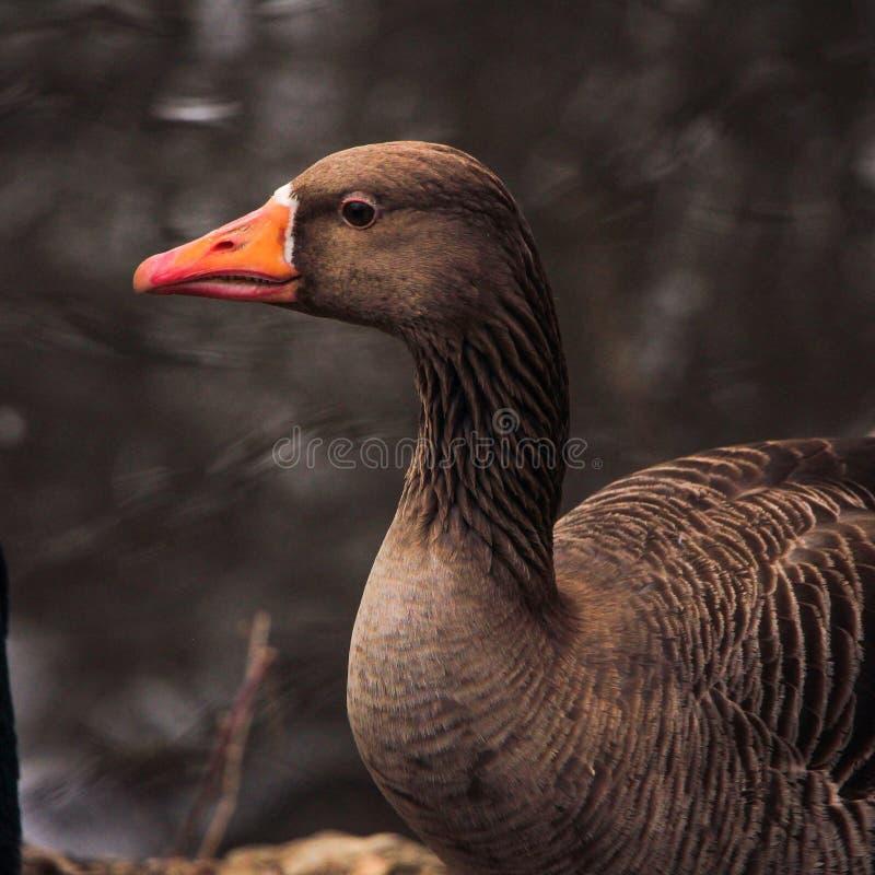 Retrato del ganso fotografía de archivo libre de regalías