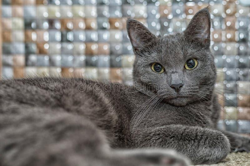 Retrato del gato azul ruso con los ojos hermosos fotos de archivo libres de regalías