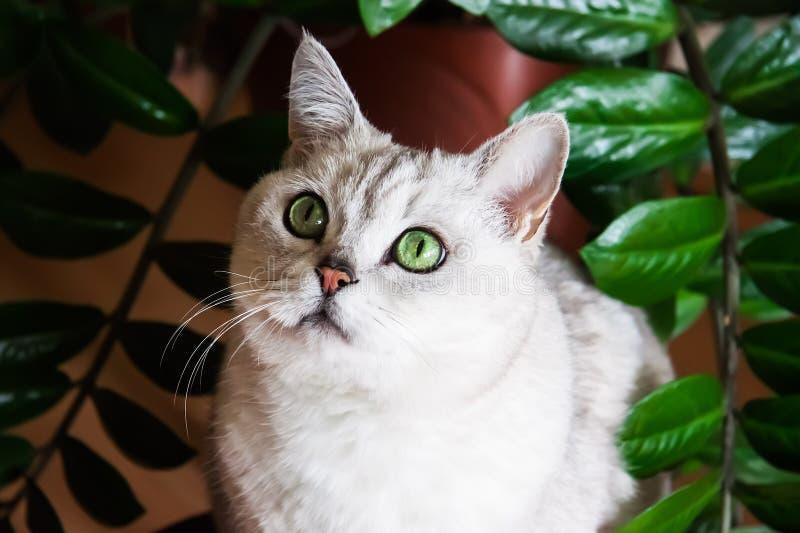 Retrato del gato blanco de ojos verdes al lado del houseplant, imagen de archivo