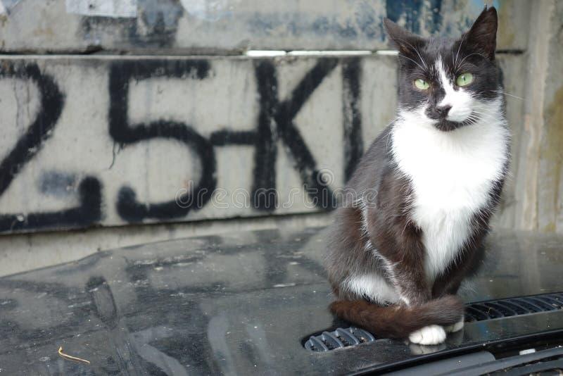 Retrato del gato blanco y negro con los ojos verdes fotos de archivo