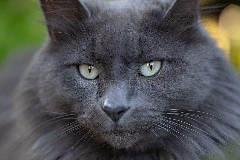 Retrato del gato del cierre gris para arriba imagen de archivo