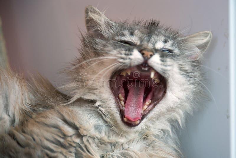 Retrato del gato con la boca abierta Bosteza soñoliento) foto de archivo