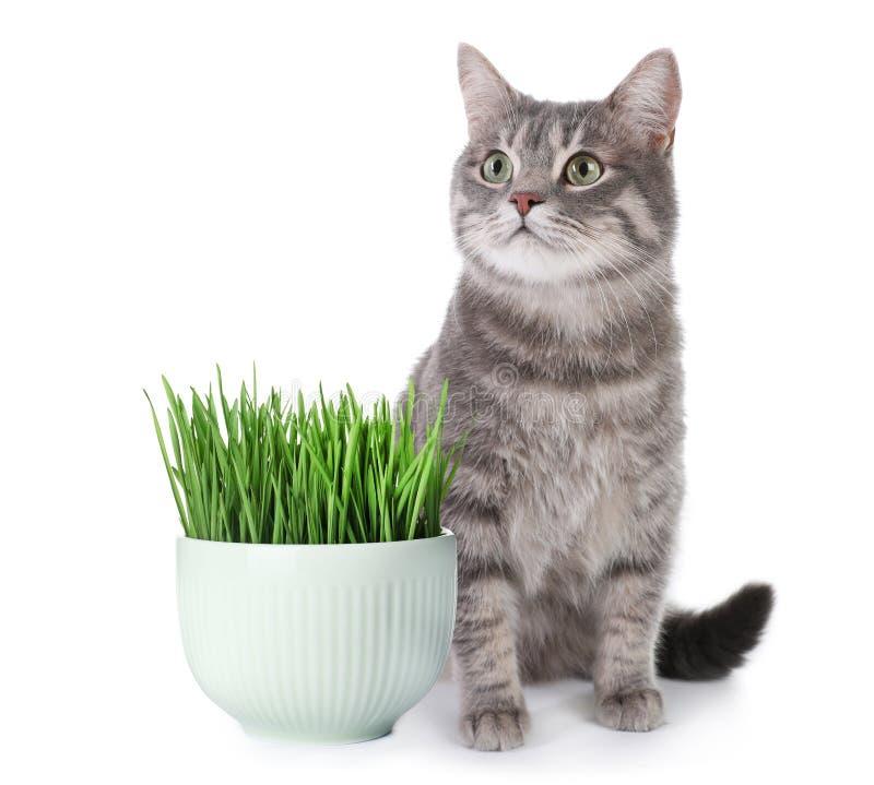 Retrato del gato de gato atigrado gris en el fondo blanco imágenes de archivo libres de regalías
