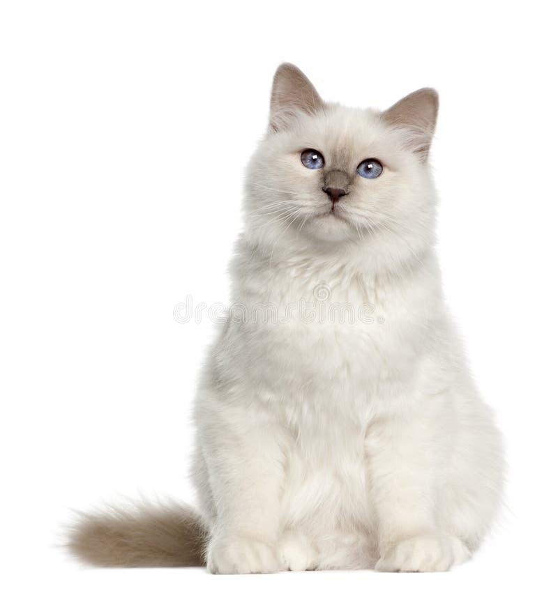 Retrato del gato de Birman, 6 meses, sentándose fotografía de archivo