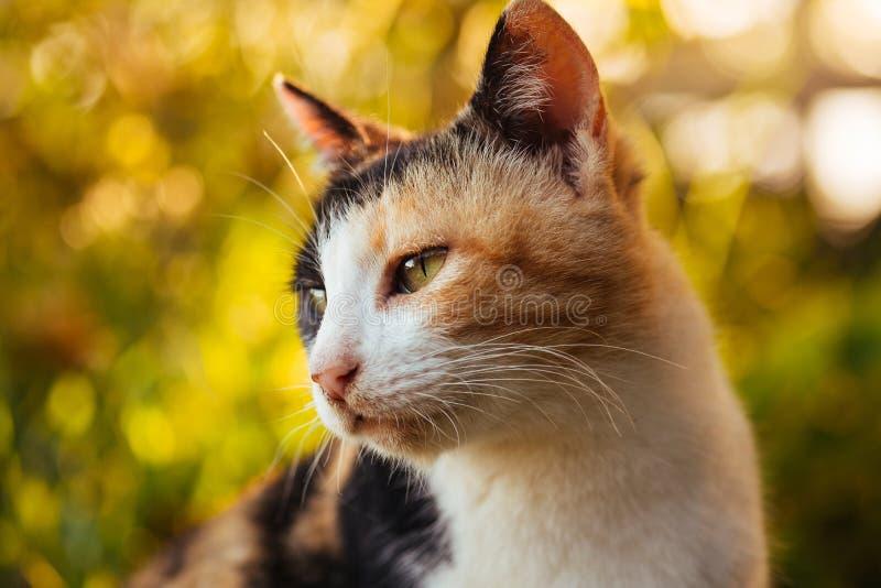 Retrato del gato de calicó imagen de archivo libre de regalías