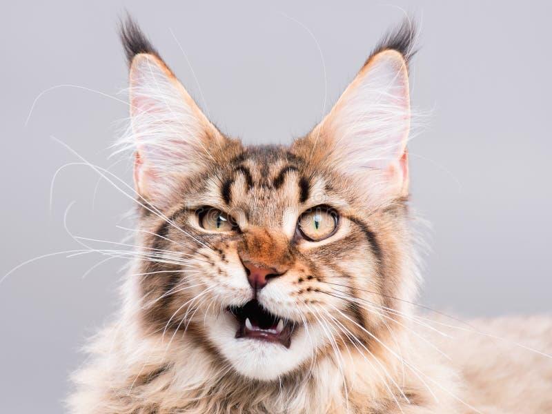 Retrato del gato de Coon de Maine imágenes de archivo libres de regalías