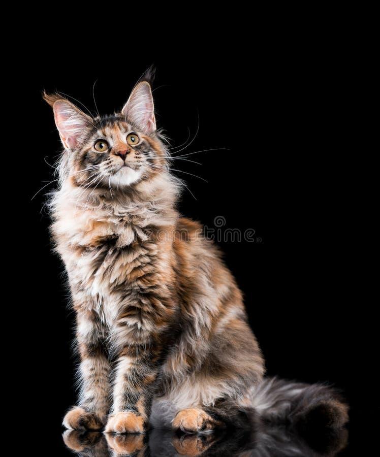Retrato del gato de Coon de Maine foto de archivo libre de regalías