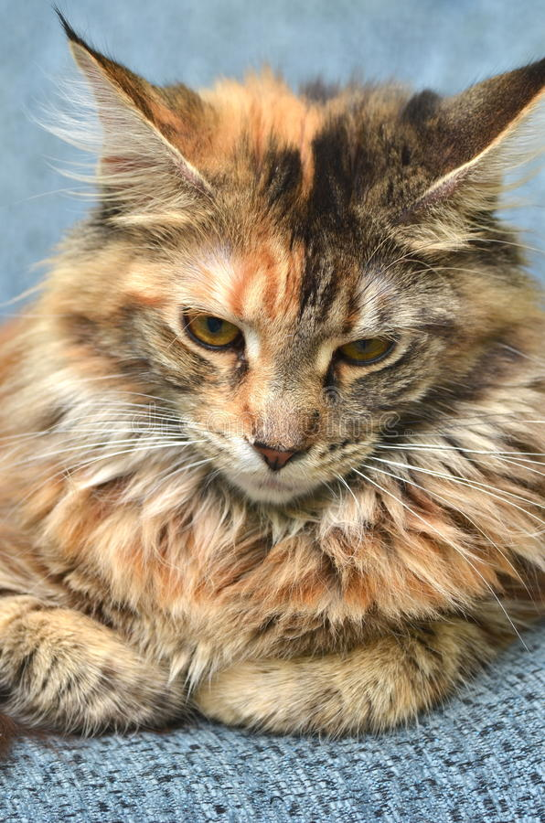 Retrato del gato de mapache joven hermoso de Maine imagen de archivo