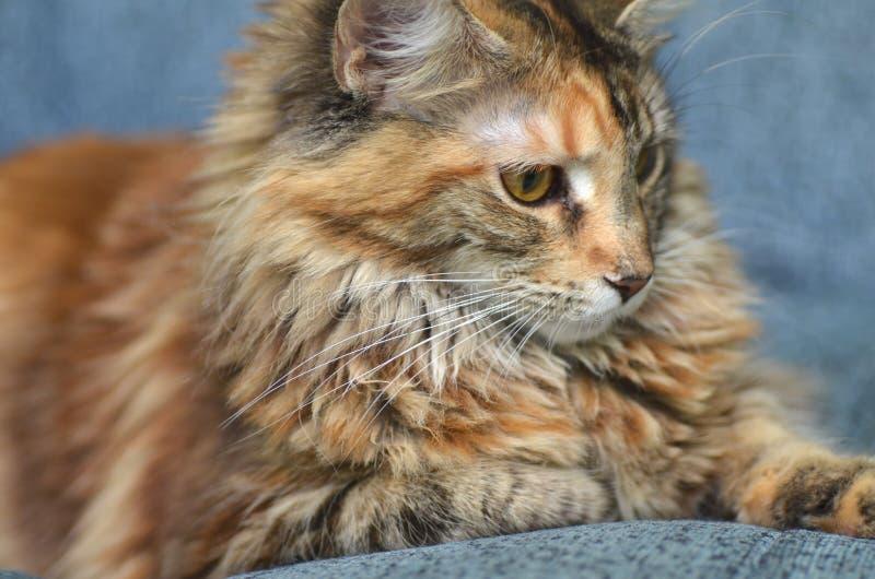 Retrato del gato de mapache joven hermoso de Maine imagenes de archivo