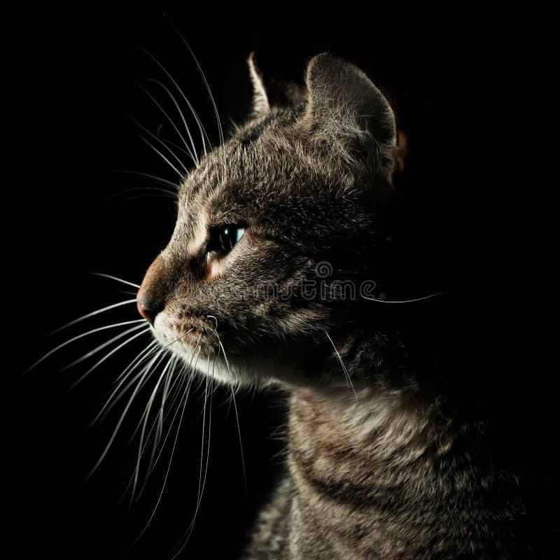 Retrato del gato de Tabby foto de archivo