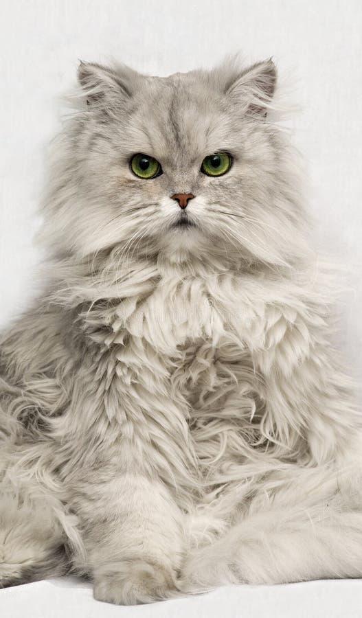 Retrato del gato en Backgrou blanco imagen de archivo