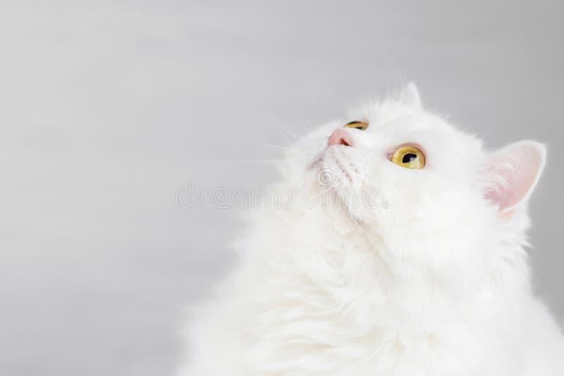 Retrato del gato escocés recto de la montaña blanca nacional mullida aislado en el fondo blanco del estudio Gatito lindo o imagen de archivo