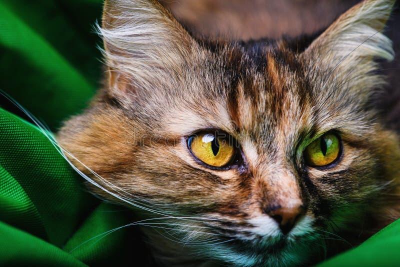 Retrato del gato hermoso foto de archivo libre de regalías
