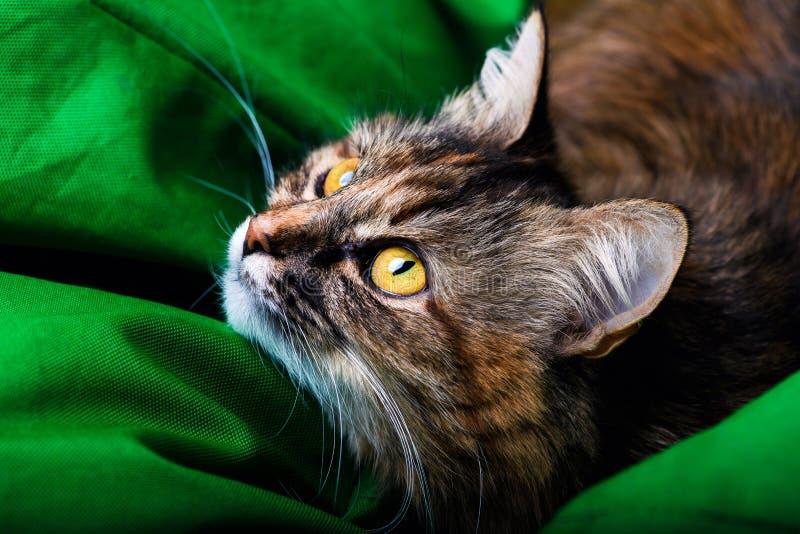 Retrato del gato hermoso imagen de archivo