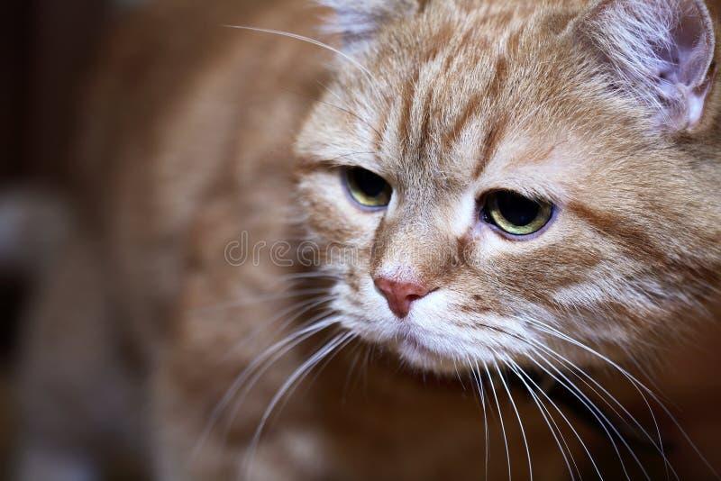 Retrato del gato del jengibre fotos de archivo