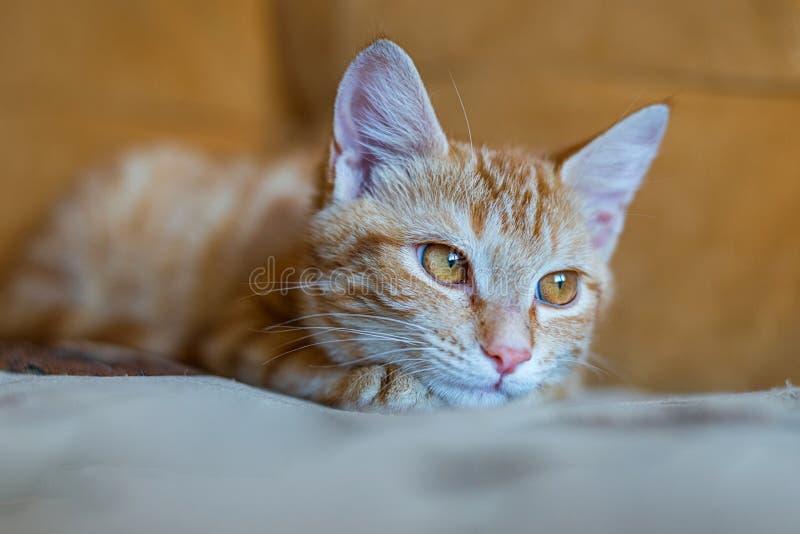 Retrato del gato del jengibre que miente en el sofá anaranjado fotos de archivo libres de regalías