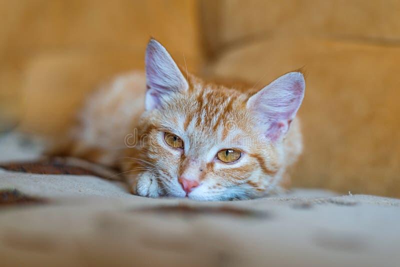 Retrato del gato del jengibre que miente en el sofá anaranjado imagen de archivo