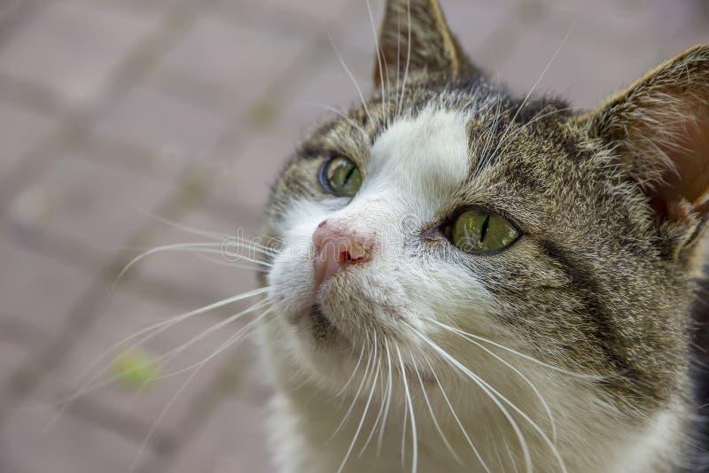 Retrato del gato lindo con los ojos verdes que miran para arriba fotos de archivo