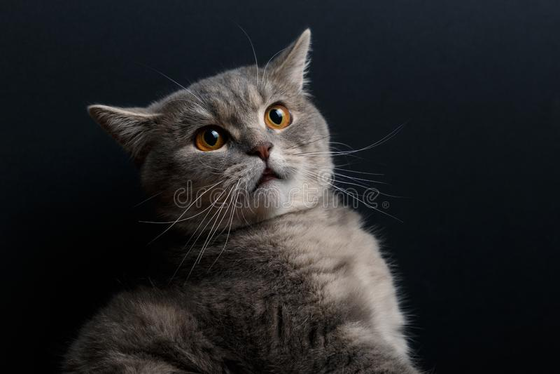Retrato del gato lindo escoc?s derecho en estudio fotos de archivo