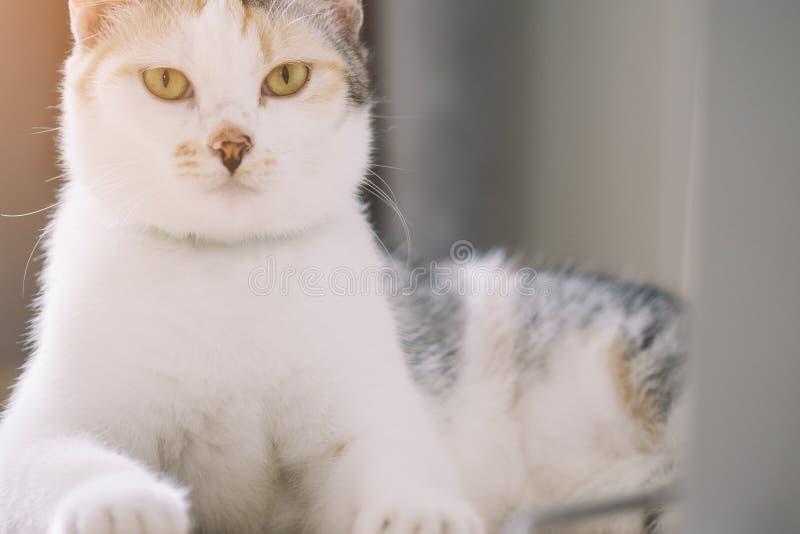 Retrato del gato lindo del parti-color que miente en el piso y que mira en la cámara con el fondo de la luz del sol imagen de archivo libre de regalías