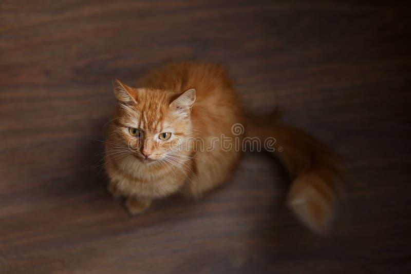 Retrato del gato mullido del jengibre con las barbas blancas grandes imagen de archivo