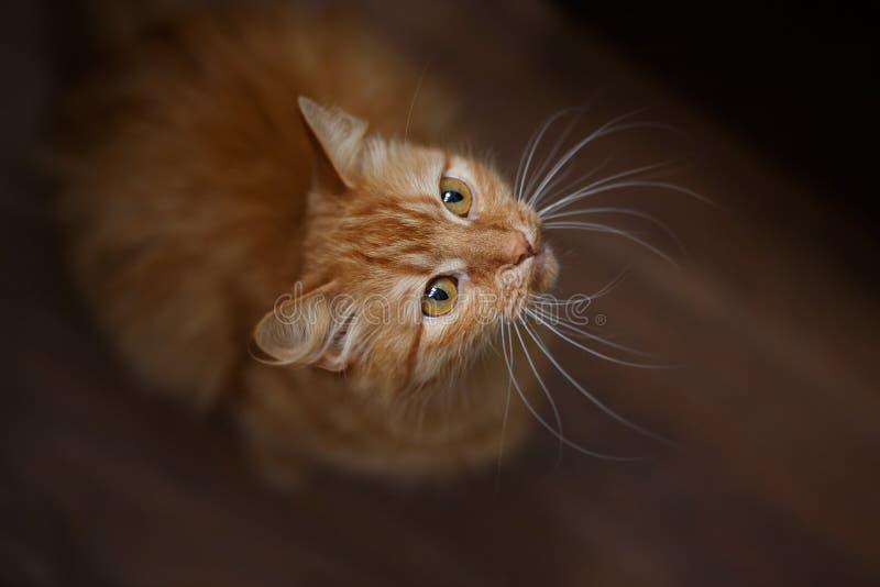 Retrato del gato mullido del jengibre con las barbas blancas grandes fotografía de archivo libre de regalías