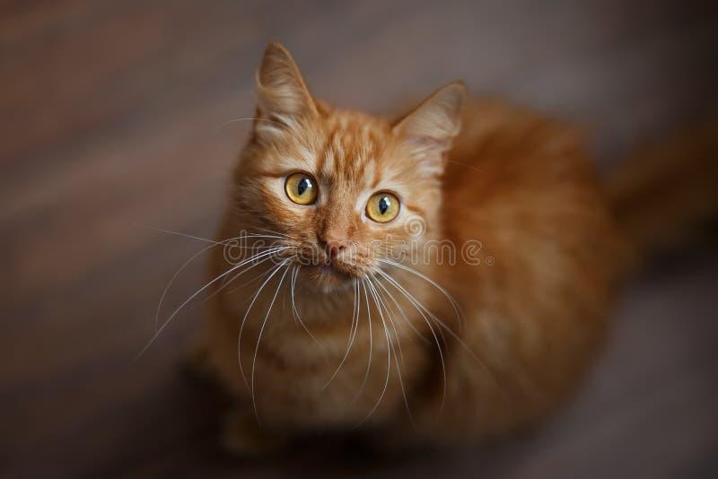 Retrato del gato mullido del jengibre con las barbas blancas grandes foto de archivo libre de regalías