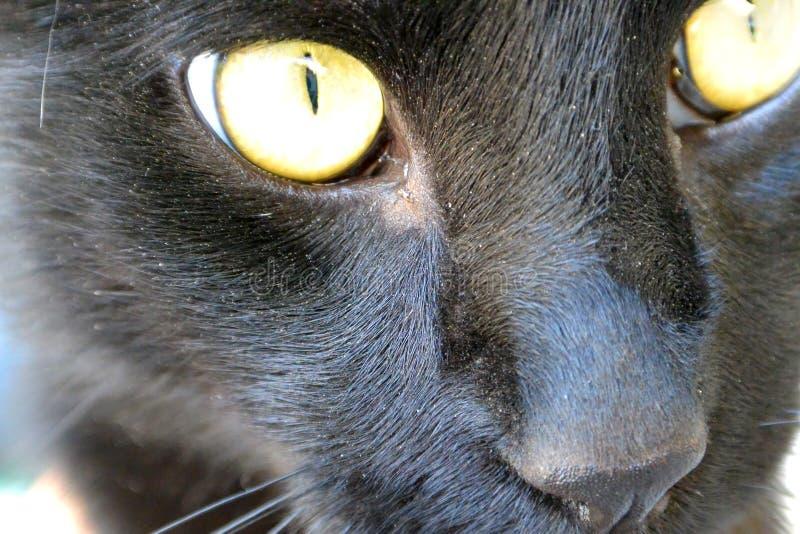 Retrato del gato negro con los ojos amarillos imagenes de archivo