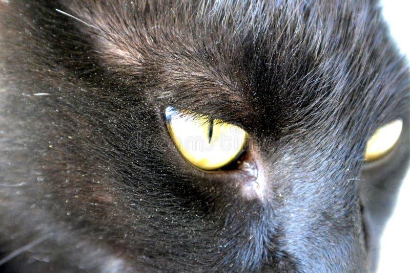 Retrato del gato negro con los ojos amarillos imagen de archivo libre de regalías