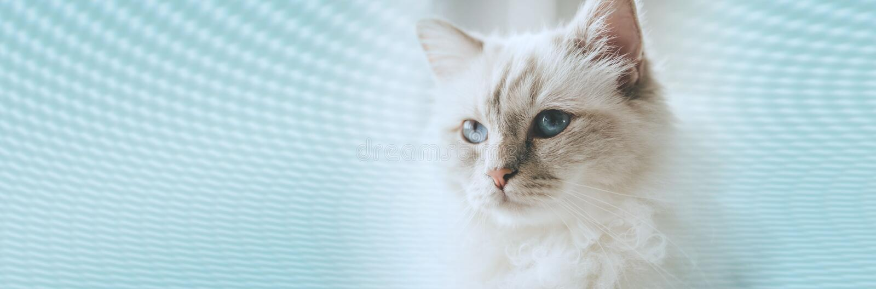 Retrato del gato sagrado hermoso de Birmania Bandera panor?mica fotos de archivo