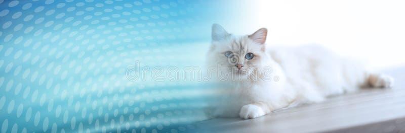 Retrato del gato sagrado hermoso de Birmania Bandera panor?mica stock de ilustración