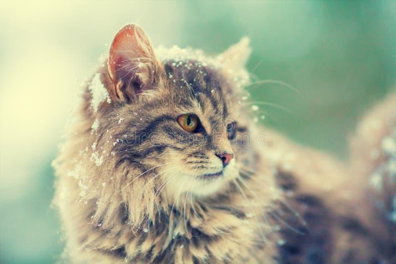 Retrato del gato siberiano gris fotos de archivo libres de regalías