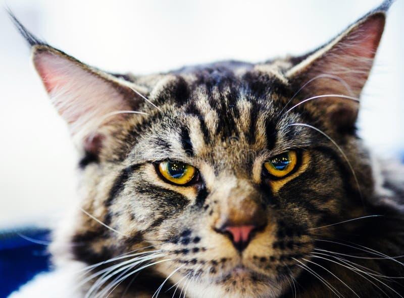Retrato del gato triste fotografía de archivo libre de regalías