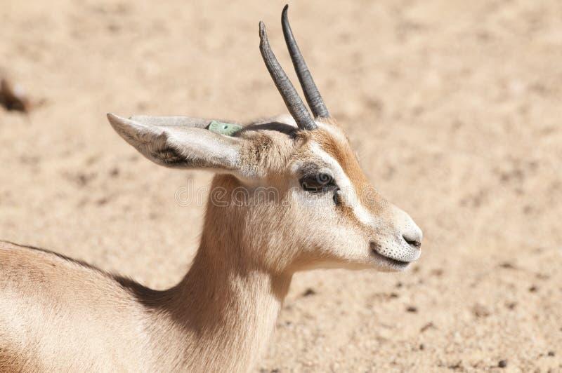 Retrato Del Gazelle De Dorcas Imágenes de archivo libres de regalías