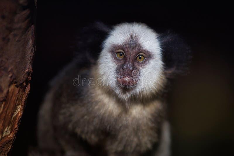 Retrato del geoffroyi de cabeza blanca femenino adulto del Callithrix del mono tití imagenes de archivo