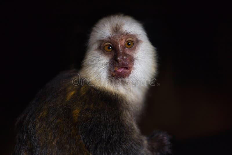 Retrato del geoffroyi de cabeza blanca femenino adulto del Callithrix del mono tití foto de archivo