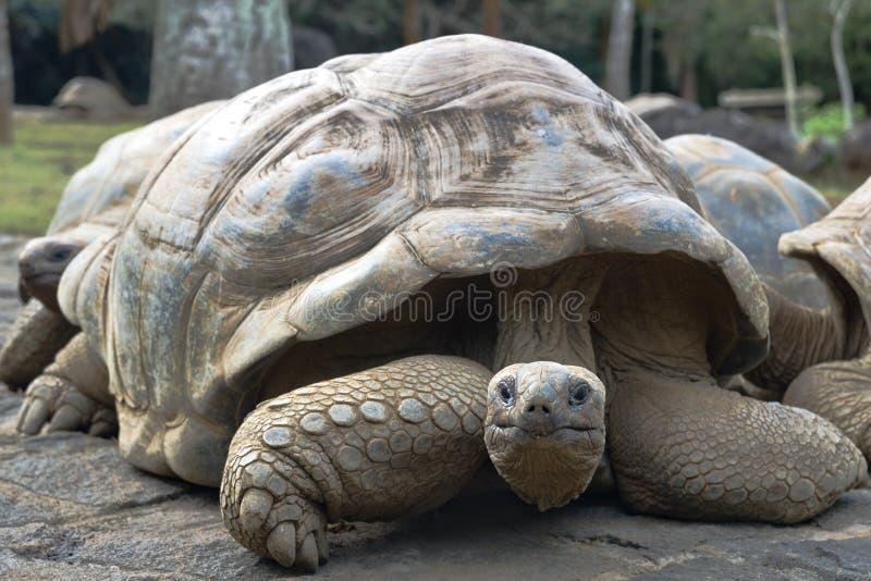 Retrato del gigante de la tortuga que mira la cámara en el pavimento imágenes de archivo libres de regalías