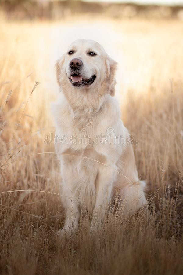 Retrato del golden retriever en la luz del sol que se sienta en un campo seco de la hierba imagen de archivo libre de regalías