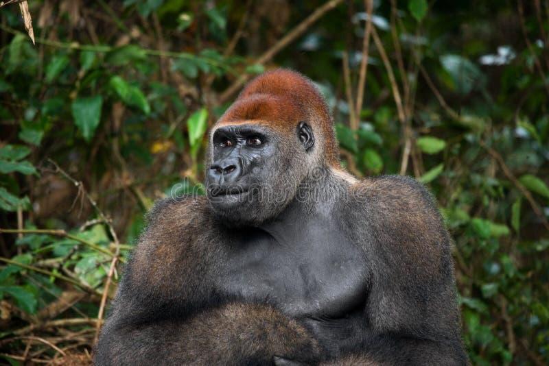 Retrato del gorila occidental El República del Congo fotos de archivo libres de regalías