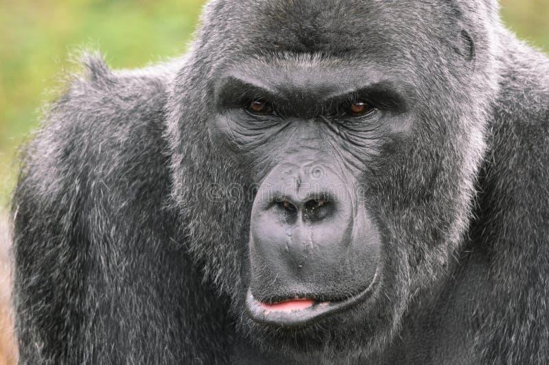 Retrato del gorila del Silverback imagen de archivo libre de regalías