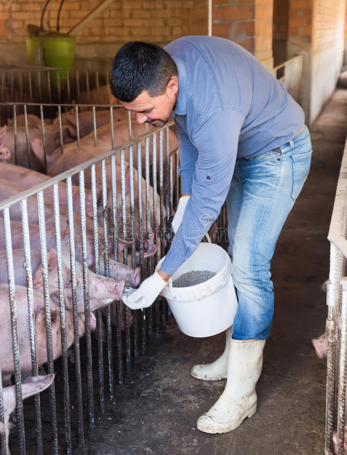 Retrato del granjero de sexo masculino que alimenta cerdos nacionales imagen de archivo libre de regalías