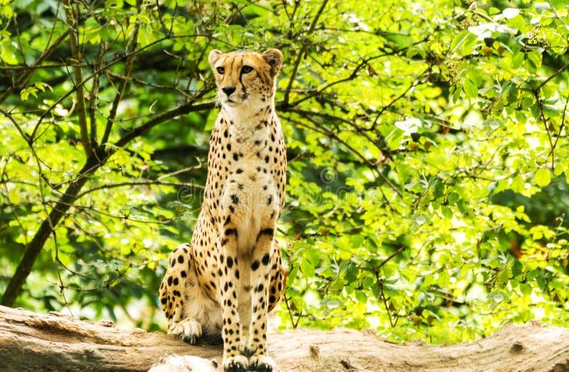 Retrato del guepardo fotos de archivo