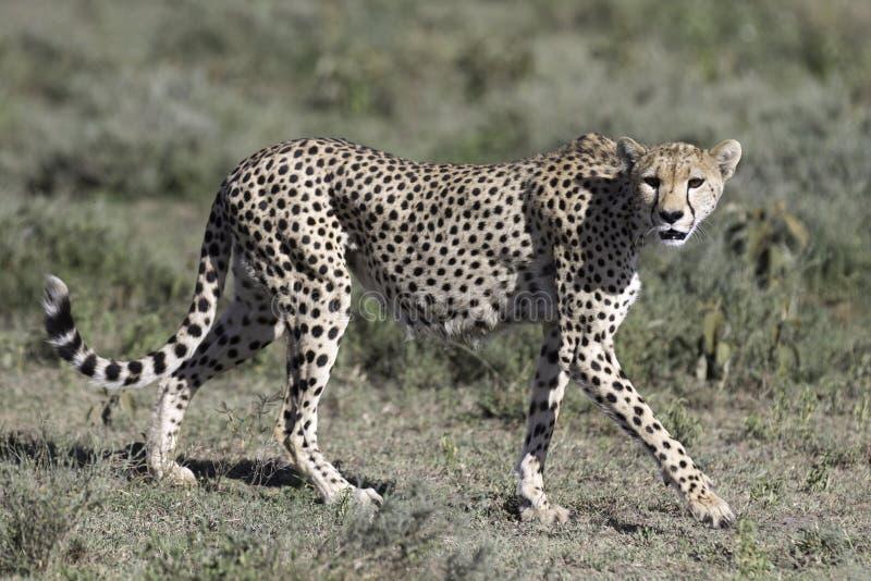Retrato del guepardo salvaje fotos de archivo