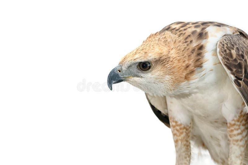 Retrato del halcón de la belleza foto de archivo